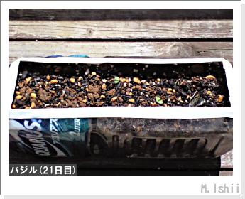 ペット栽培II(バジル)08
