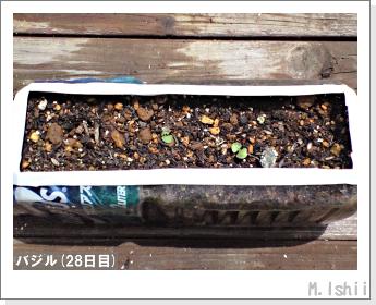 ペット栽培II(バジル)09