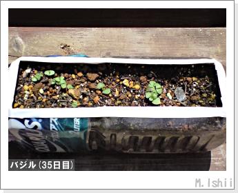 ペット栽培II(バジル)10