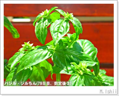 ハーブのペット栽培(バジル)19