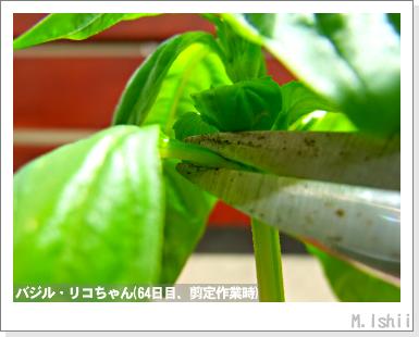 ハーブのペット栽培(バジル・改)18