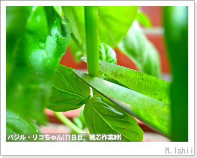 ハーブのペット栽培(バジル・改)25