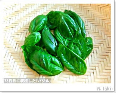 ハーブのペット栽培(バジル・改)29