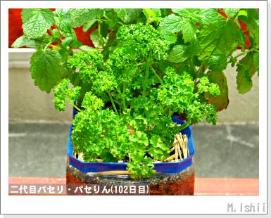 ペット栽培・試験録(パセリ)50