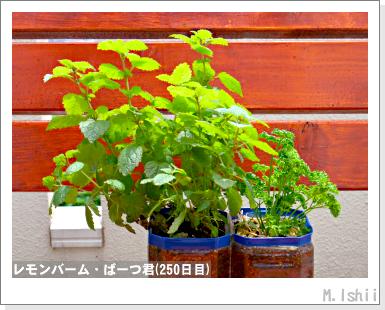 ペット栽培・試験録(パセリ)51