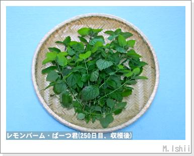ペット栽培・試験録(パセリ)53