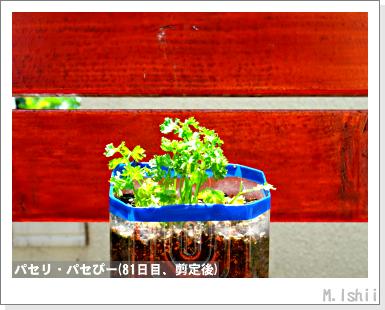 ペット栽培III(パセリ)15