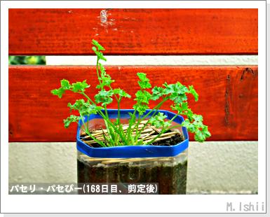 ペット栽培III(パセリ)32