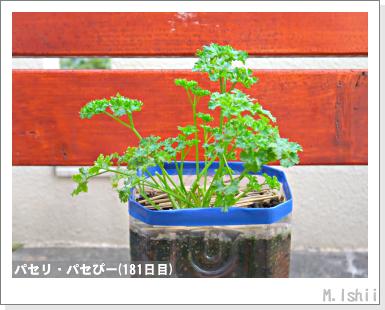 ペット栽培III(パセリ)33