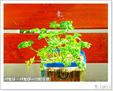 ペット栽培III(パセリ)34