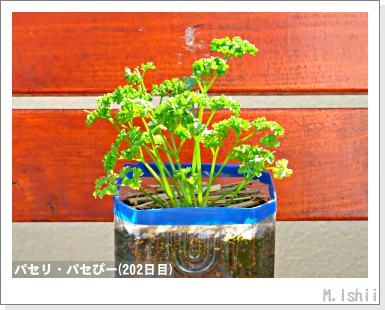 ペット栽培III(パセリ)35