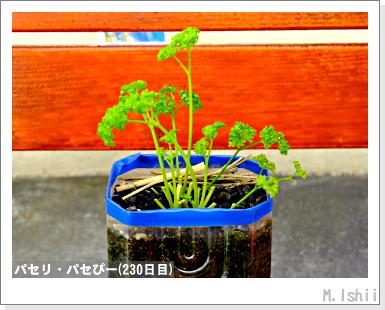 ペット栽培III(パセリ)42