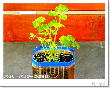 ペット栽培III(パセリ)43