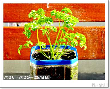 ペット栽培III(パセリ)44