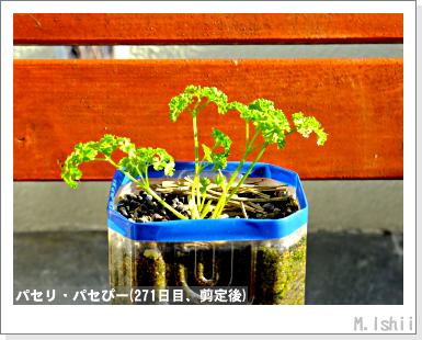 ペット栽培III(パセリ)48
