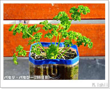 ペット栽培III(パセリ)50