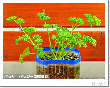 ペット栽培III(パセリ)51