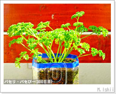 ペット栽培III(パセリ)52