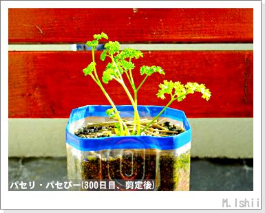 ペット栽培III(パセリ)55