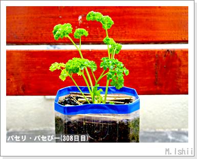 ペット栽培III(パセリ)56