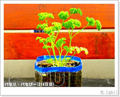 ペット栽培III(パセリ)57