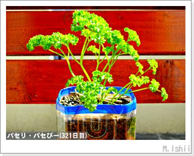 ペット栽培III(パセリ)58