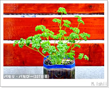 ペット栽培III(パセリ)59