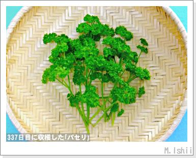 ペット栽培III(パセリ)60