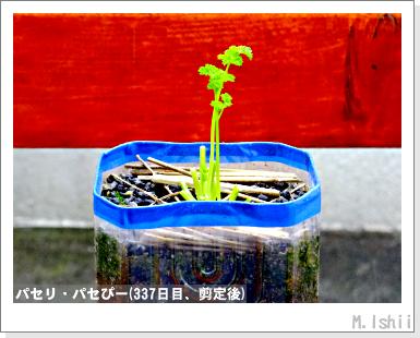 ペット栽培III(パセリ)62