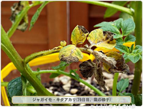 ジャガイモの試験栽培17