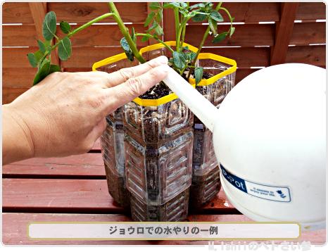 ジャガイモの試験栽培19