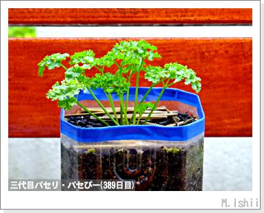 ハーブのペット栽培(イタリアンパセリ)10