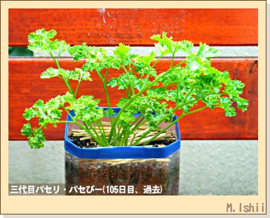 ハーブのペット栽培(イタリアンパセリ)32