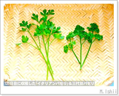 ハーブのペット栽培(イタリアンパセリ)44