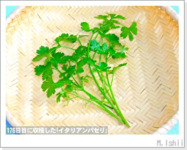 ハーブのペット栽培(イタリアンパセリ)57