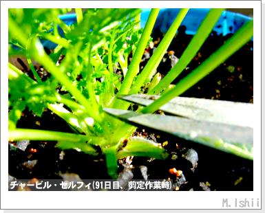 ハーブのペット栽培(チャービル)24