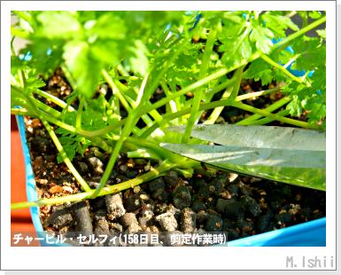 ハーブのペット栽培(チャービル)31