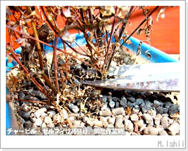 ハーブのペット栽培(チャービル)50