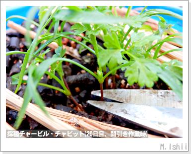 ハーブのペット栽培(チャービル・改)11
