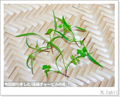 ハーブのペット栽培(チャービル・改)12