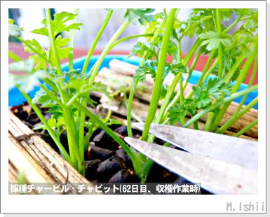 ハーブのペット栽培(チャービル・改)21