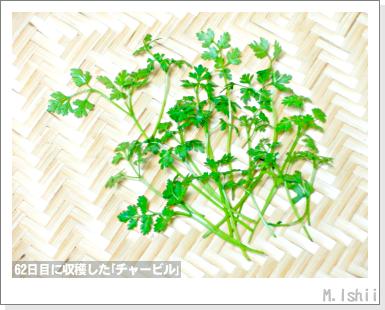 ハーブのペット栽培(チャービル・改)22