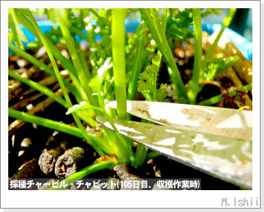 ハーブのペット栽培(チャービル・改)31