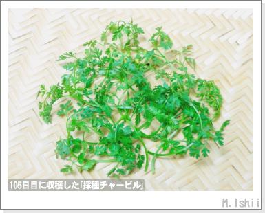 ハーブのペット栽培(チャービル・改)32