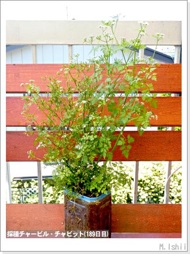 ハーブのペット栽培(チャービル・改)45