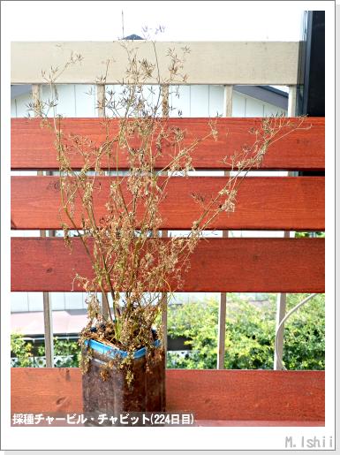 ハーブのペット栽培(チャービル・改)50