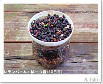 ペット栽培II(レモンバーム)10
