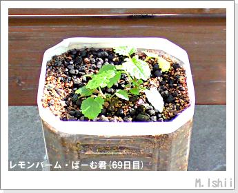 ペット栽培II(レモンバーム)15