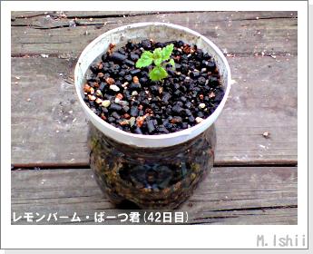 ペット栽培II(レモンバーム)19