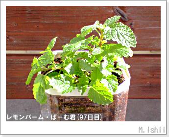ペット栽培II(レモンバーム)25